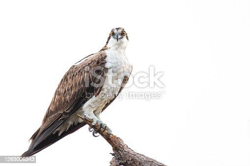 An Osprey Perched on a Branch in Merritt Island, FL, United States