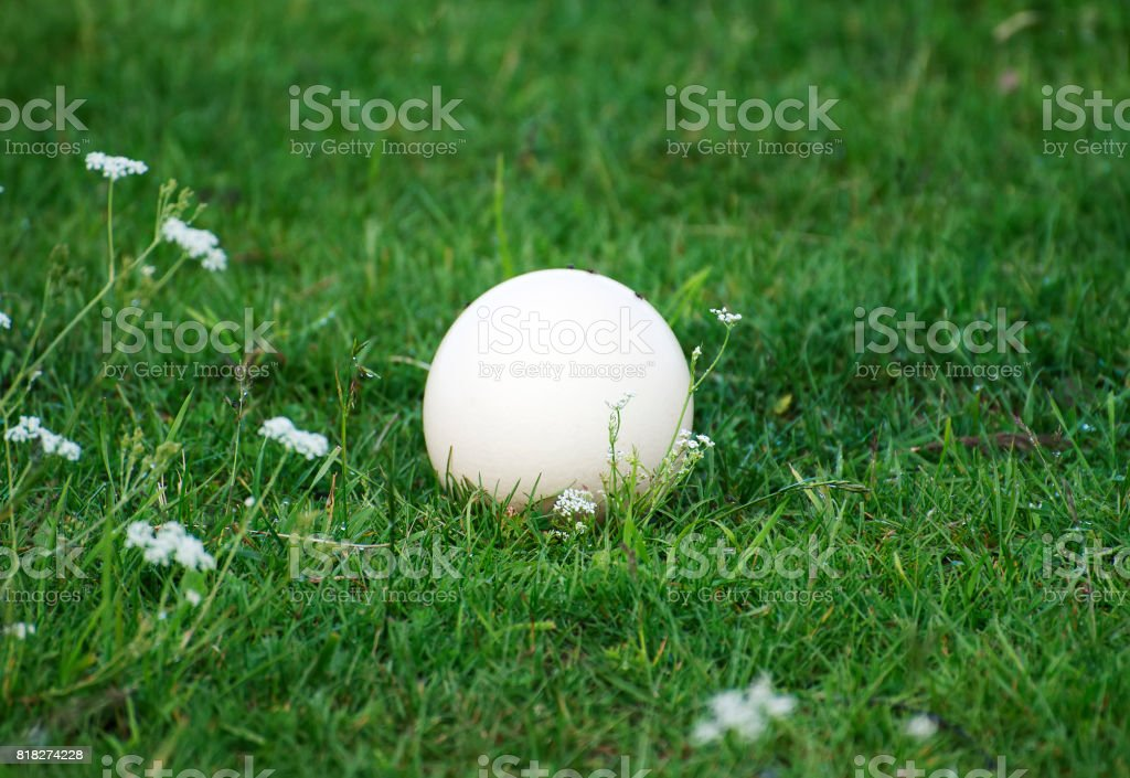 An ostrich egg laying on the grass. stock photo