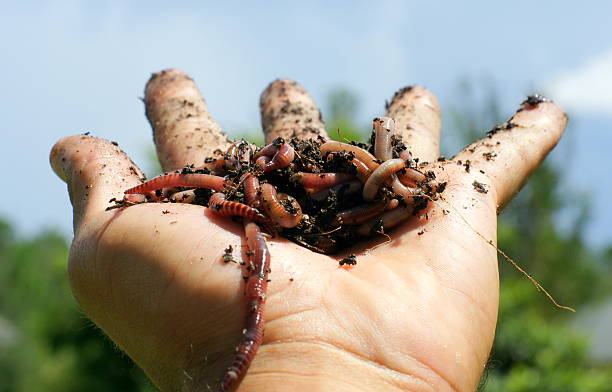 An outstretched hand filled with dirt and worms A hand holding up a ball of worms. annelid stock pictures, royalty-free photos & images