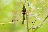 An owlfly on grass