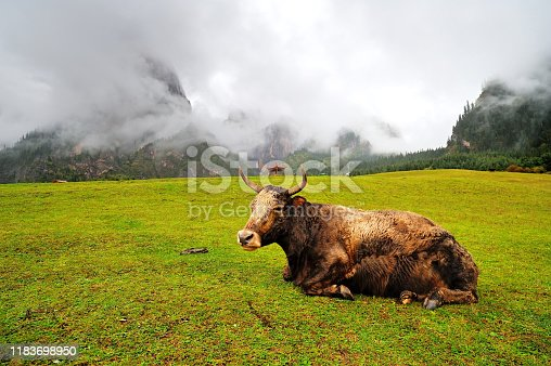 An ox is resting on the mountain grassland
