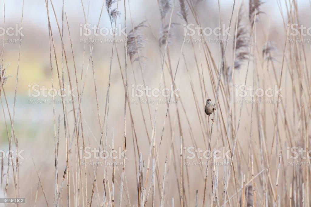 An Phylloscopus trochilus stock photo