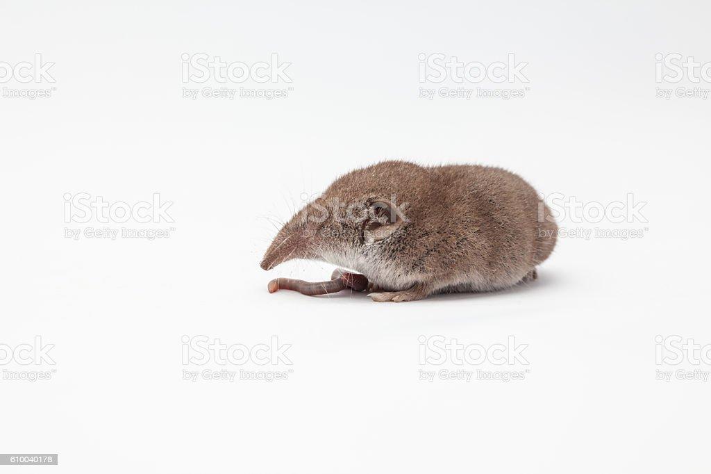 an small shrew stock photo