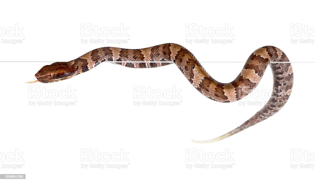 An snake American Copperhead (Agkistrodon contortrix) crawling on the edge stock photo