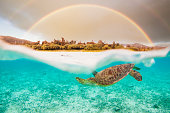 istock An under/over view of a Sea Turtle and double rainbow above 1304455814
