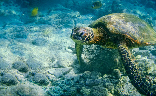 An underwater photo of a Hawaiian Green Sea Turtle Green Sea Turtle of Hawaii swimming in the shallow waters off the coast of the Big Island of Hawaii. neicebird stock pictures, royalty-free photos & images