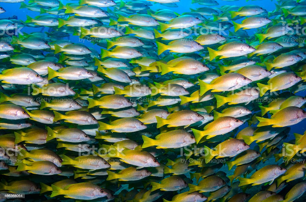 An underwater photograph of a school of yellow tailed fish stock photo