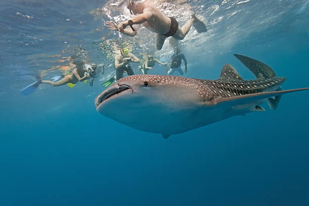 An underwater shot of divers looking at a whale shark Whale shark and snorkeling people  whale shark stock pictures, royalty-free photos & images