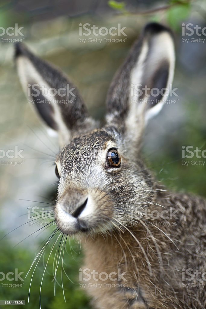 An up close image of a brown baby hare in nature royalty-free stock photo