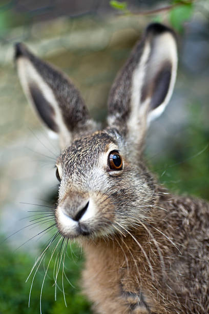 An up close image of a brown baby hare in nature stock photo
