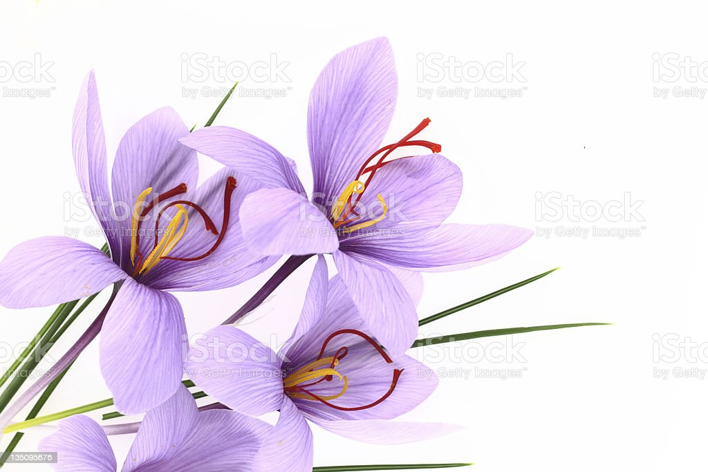 An up close picture of purple crocus flowers stock photo