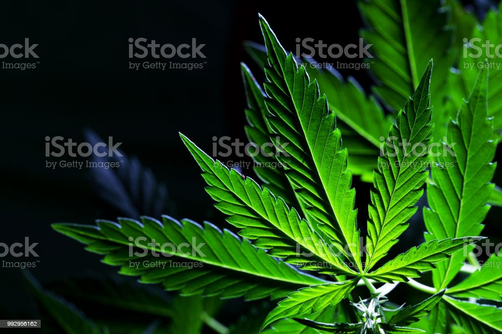 An up close view of a young indoor flowering legal medical marijuana cannabis bud stock photo