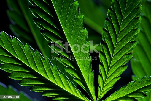 istock An up close view of a young indoor flowering legal medical marijuana cannabis bud 992956618