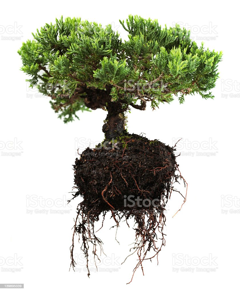 An uprooted green bonsai tree with the roots hanging down stock photo