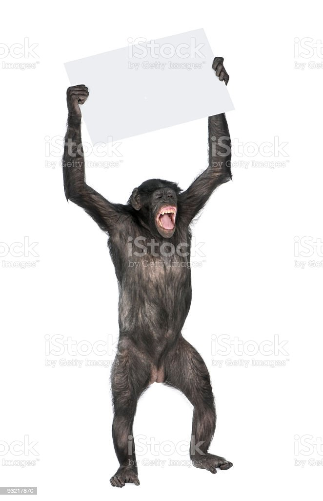 An uptight chimp holding up a blank placard stock photo