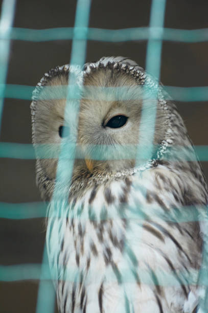 un ural owl (strix nebulosa) dans la cage. - cage animal nuit photos et images de collection