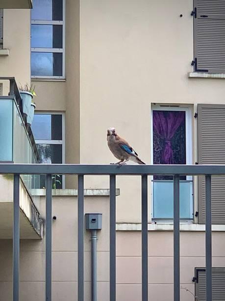 An urban Jay. stock photo
