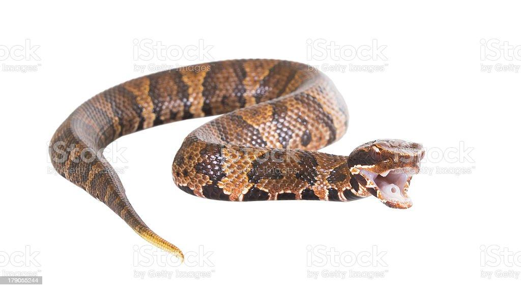 An venomous snake  American Copperhead (Agkistrodon contortrix) stock photo