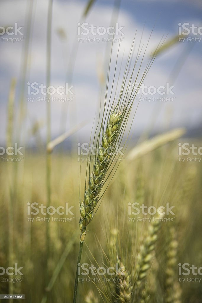 An wheat in the field. stock photo