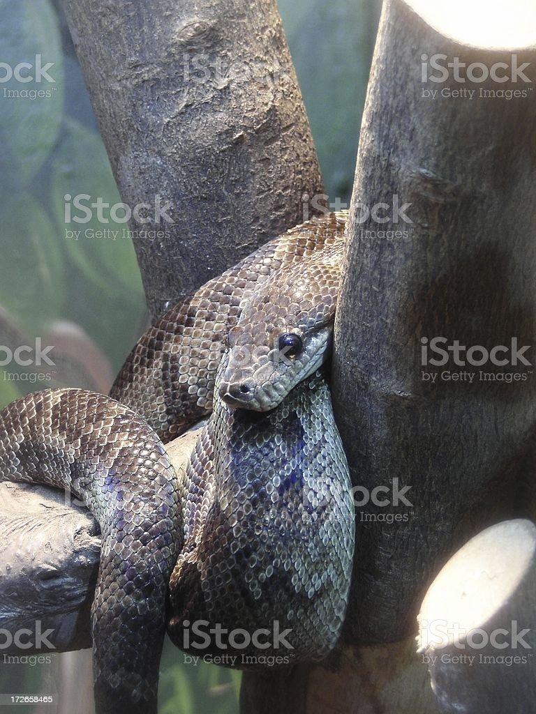 Anaconda royalty-free stock photo