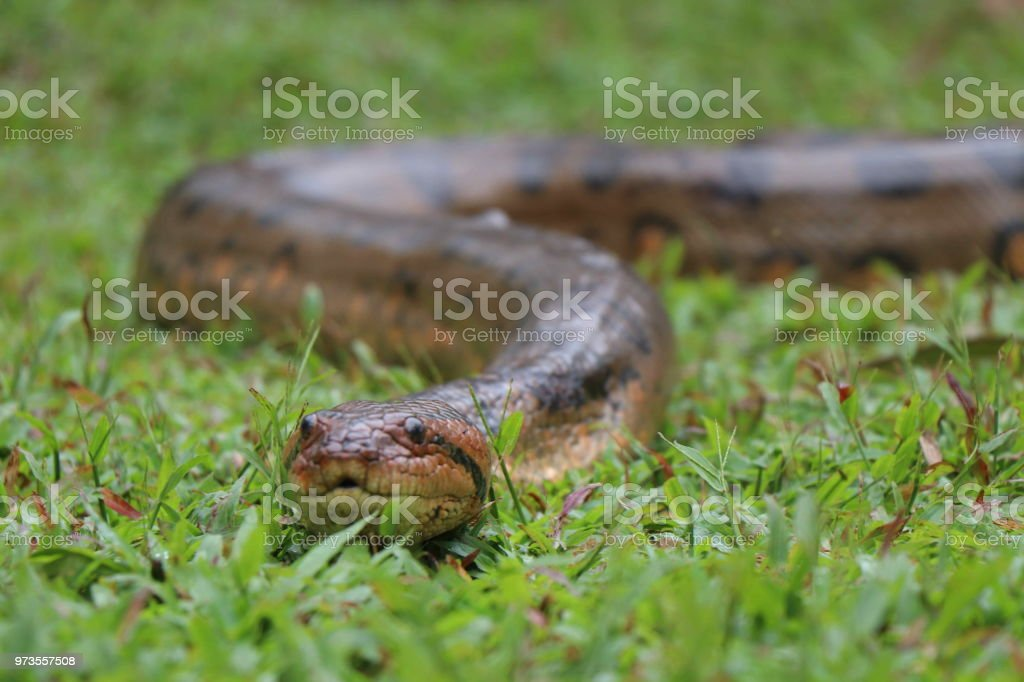 Anaconda - Photo
