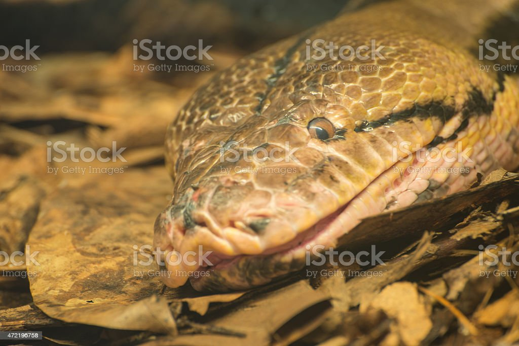 Anaconda smiling stock photo