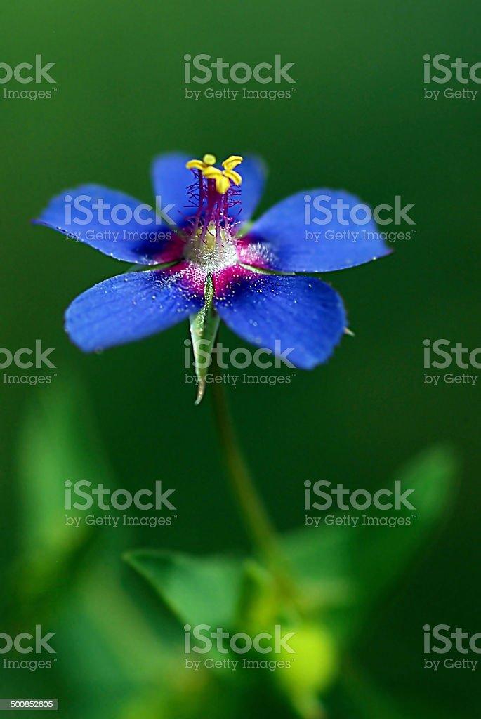 anagallis arvensis stock photo