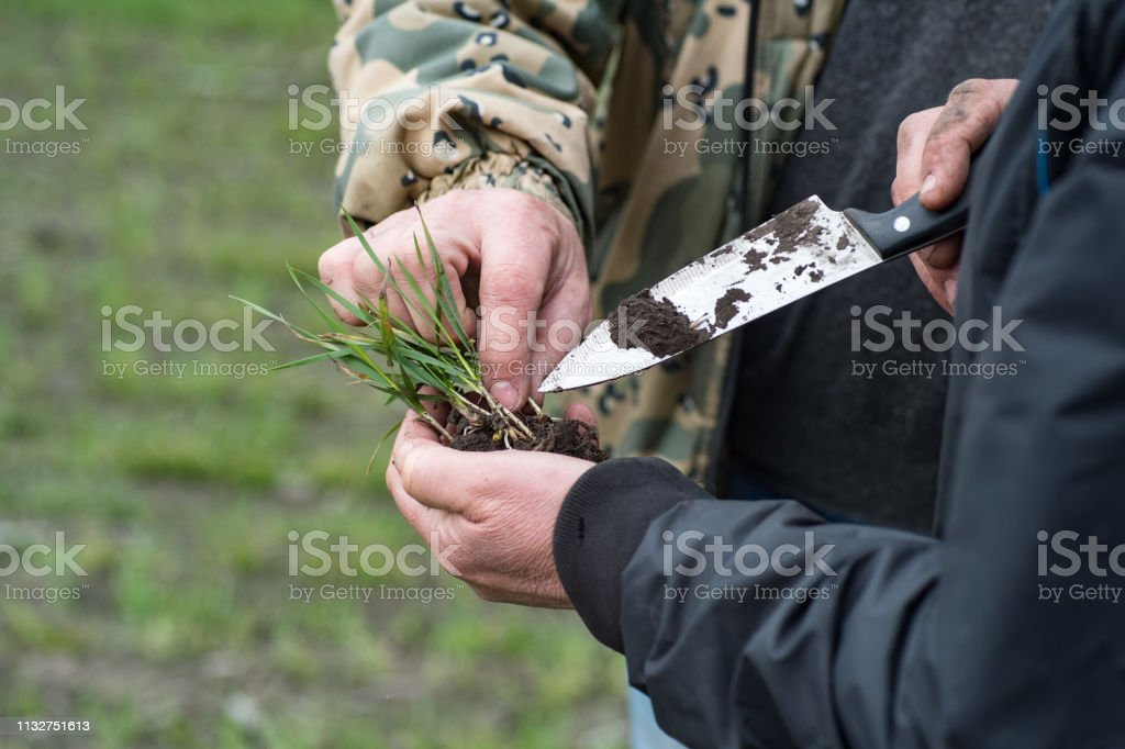 analyze the development of green wheat seedlings on the field in the...