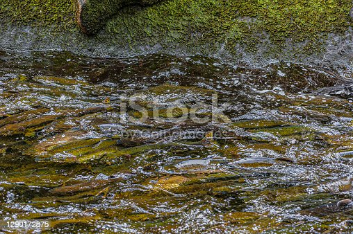 Anan Creek in the Tongass National Forest, Alaska full of pink salmon during their migration upstream to spawn.