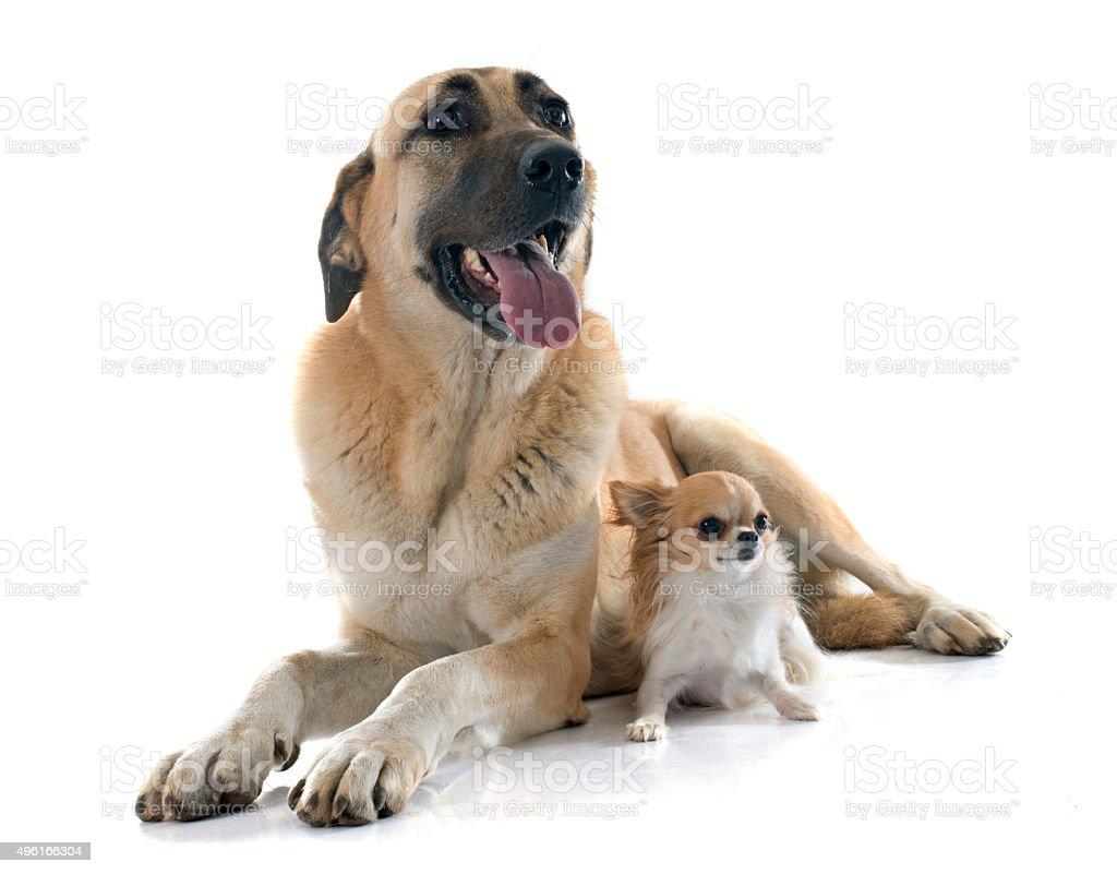 Anatolian Shepherd dog and chihuahua stock photo