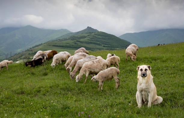 anatolian 목사 님 개 농촌 아르메니아에서 양을 지키고 - 아나톨리아 뉴스 사진 이미지