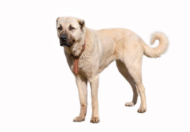 Anatolian shepherd dog (sivas kangal) in isolated white background Anatolian shepherd dog (sivas kangal) in isolated white background anatolia stock pictures, royalty-free photos & images
