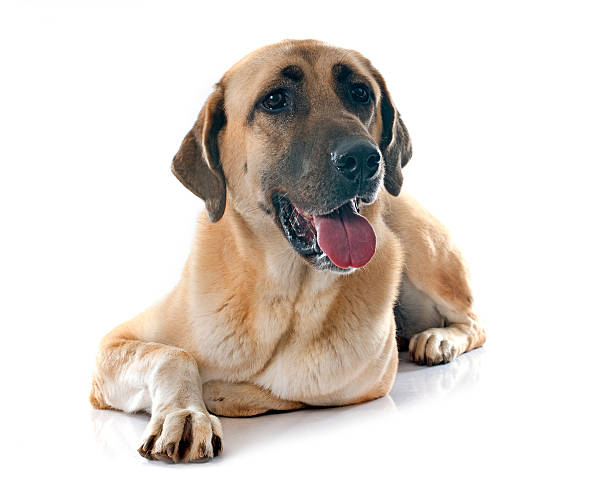 Anatolian Shepherd dog Anatolian Shepherd dog in front of white background anatolia stock pictures, royalty-free photos & images