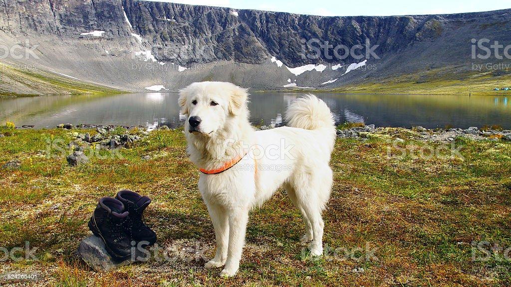 Anatolian shepherd dog. stock photo