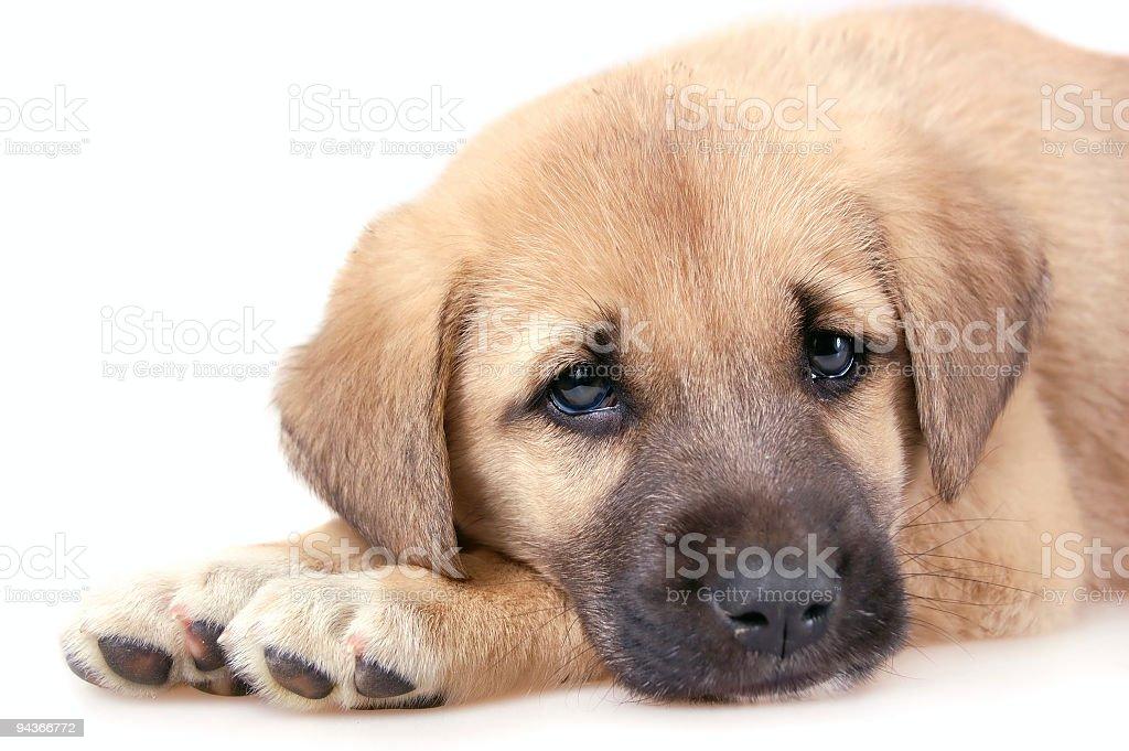 Anatolian Shepherd Dog royalty-free stock photo