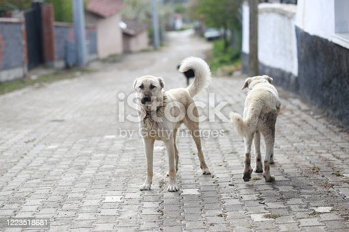Anatolian Shepherd Dogs at various ages, in the Karabas colour form.