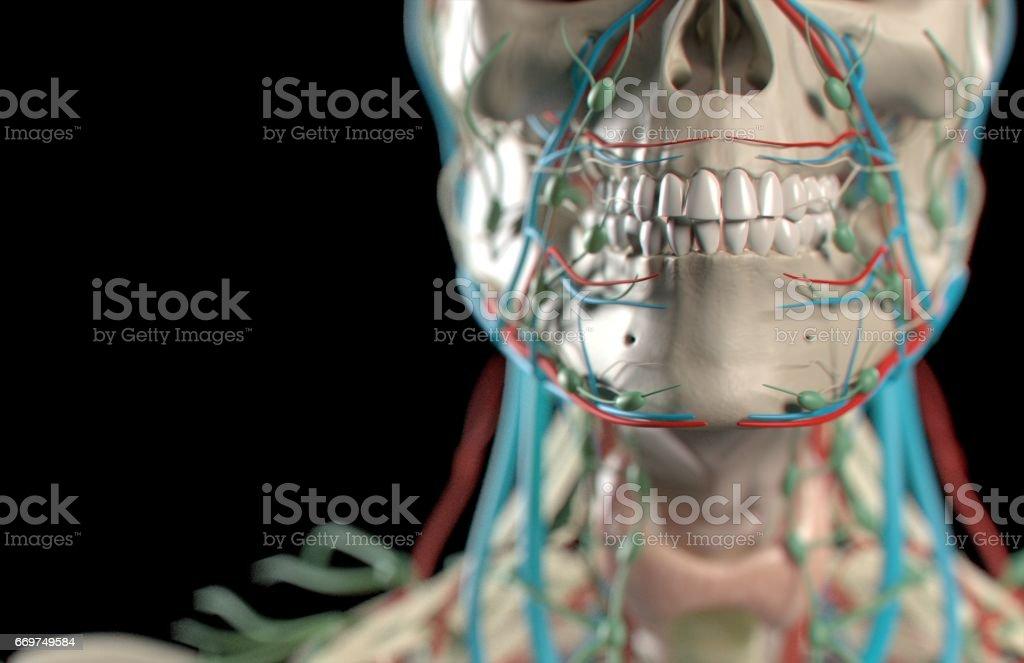 Anatomical Dental Model Of Human Teeth For Dentistry Dental Care