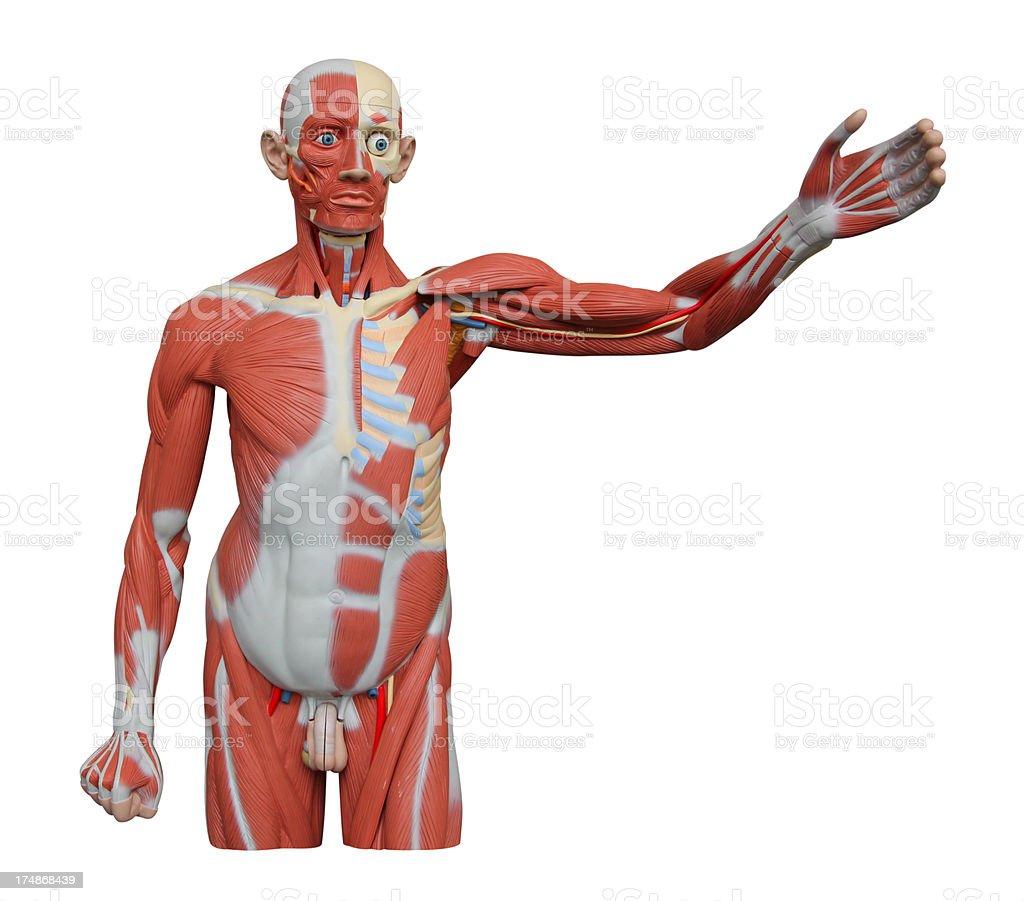 Anatomical Figure royalty-free stock photo