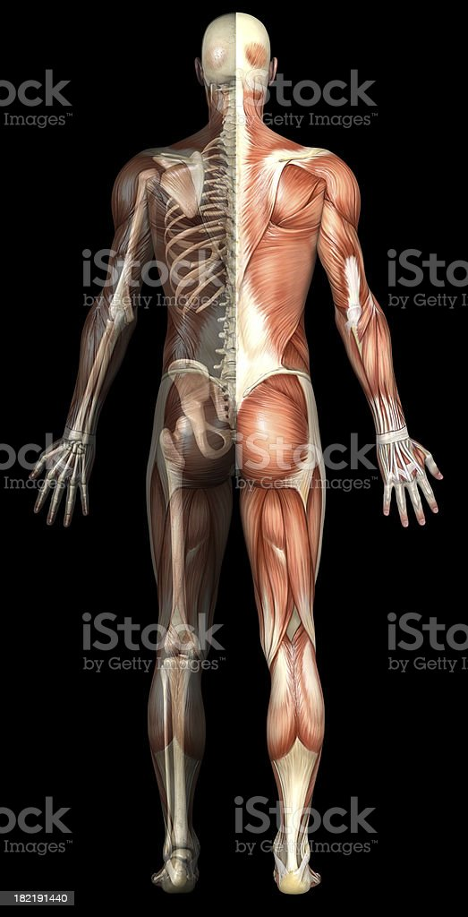 Anatomical human body showing muscles and skeleton royalty-free stock photo