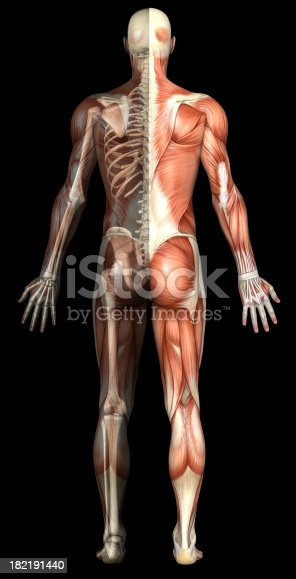 496193187istockphoto Anatomical human body showing muscles and skeleton 182191440