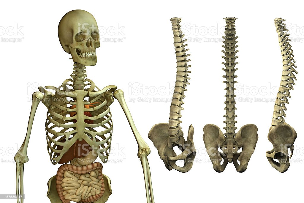 Anatomical Human Skeleton And Spine Stock Photo More Pictures Of