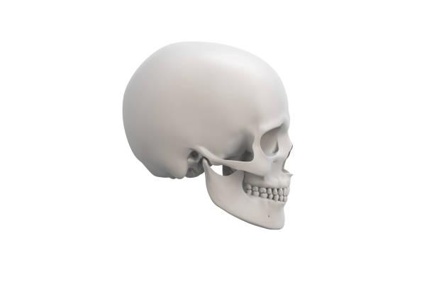 Anatomical illustration over a white background. Skull close-up. stock photo