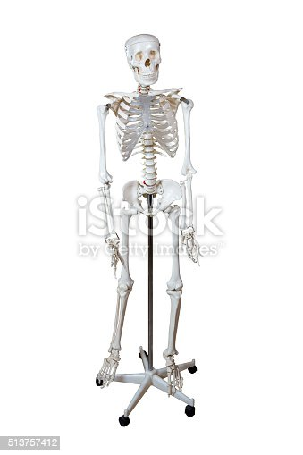 Anatomical Model human skeleton on a stand isolated on white background