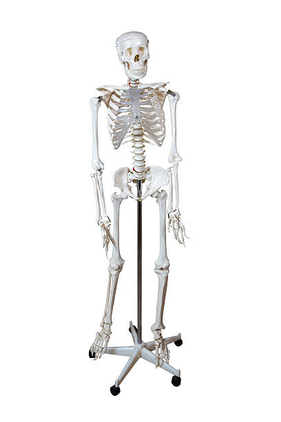 anatomical model human skeleton - full stock photos and pictures