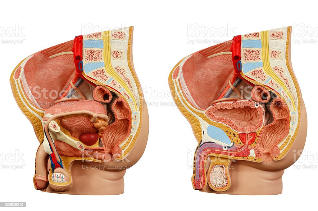 Anatomical Model Male Pelvis Stock Photo More Pictures Of Anatomy