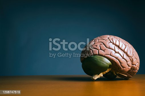 An anatomical model of the human brain sits on a wooden desk.