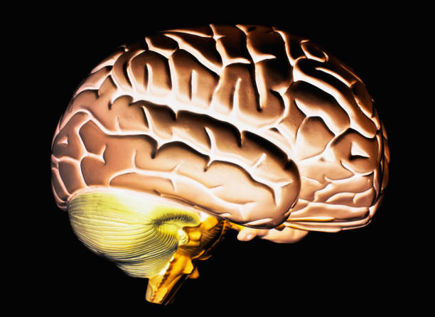 Anatomical model of human brain's right hemisphere on black stock photo