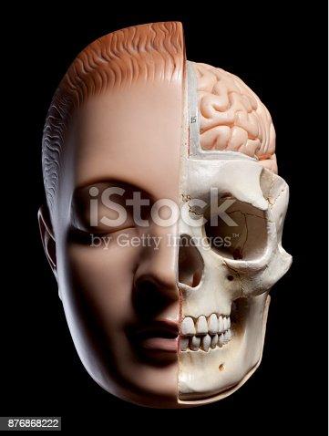 istock Anatomical model of human head 876868222