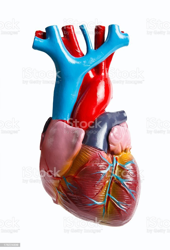 Anatomical model of human heart stock photo