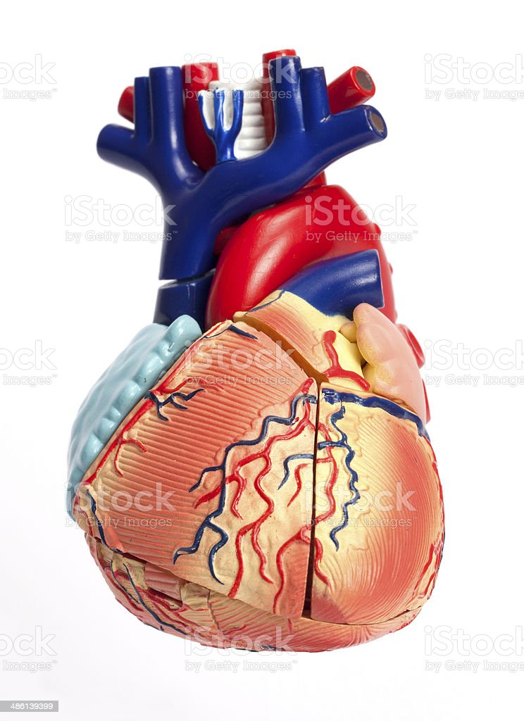 Anatomical Model Of Human Heart Stock Photo & More Pictures of